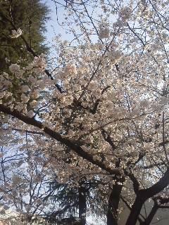 180327桜3.jpg